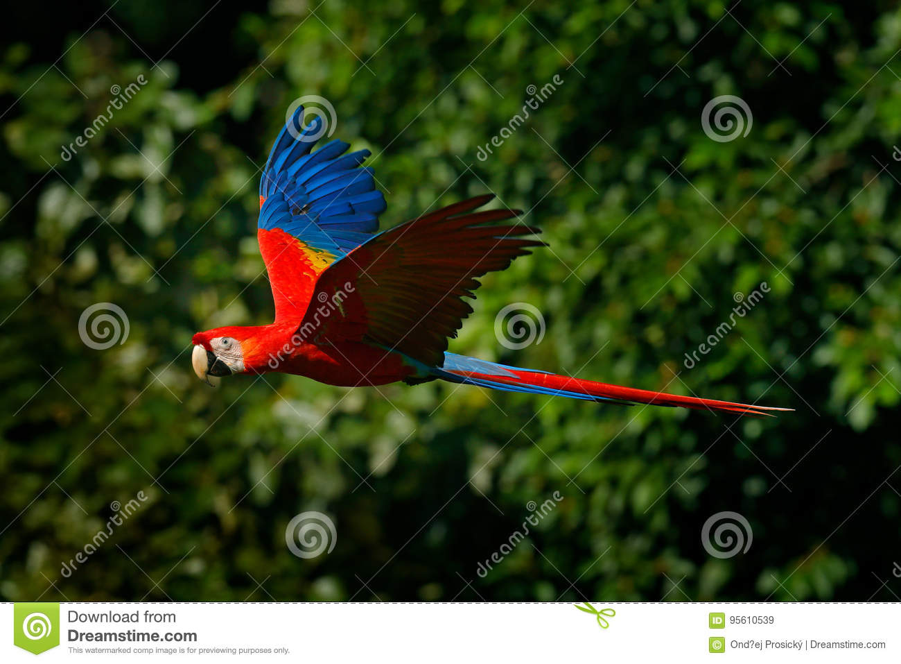 Red parrot in fly. Scarlet Macaw, Ara macao, in tropical forest, Costa Rica, Wildlife scene from tropic nature. Red bird in the fo