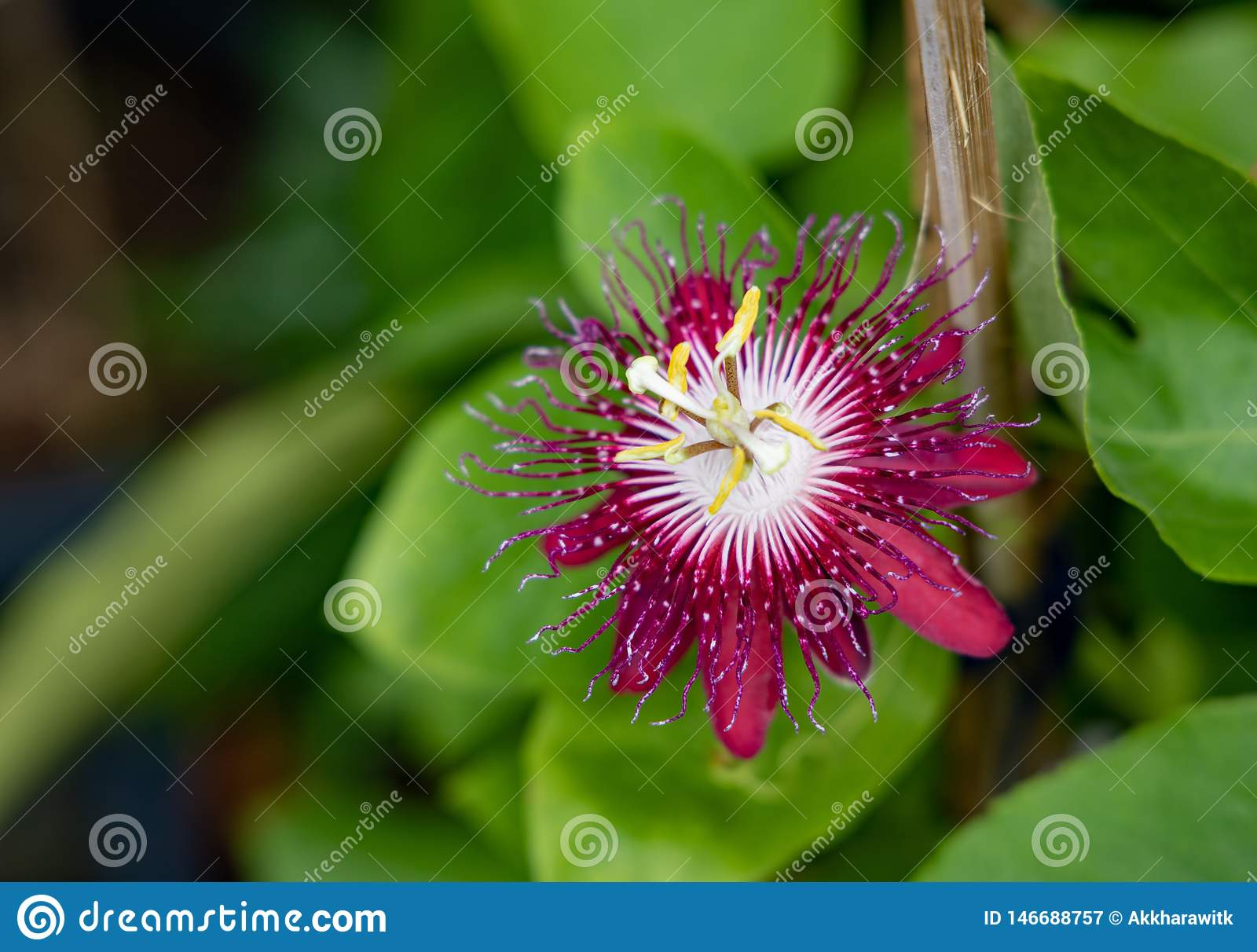 Red Passiflora flower with leaf