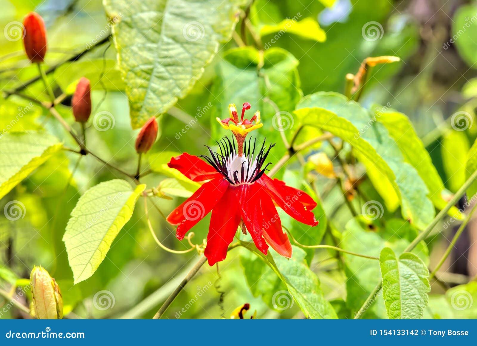 Passiflora Vitifolia Passion Flower