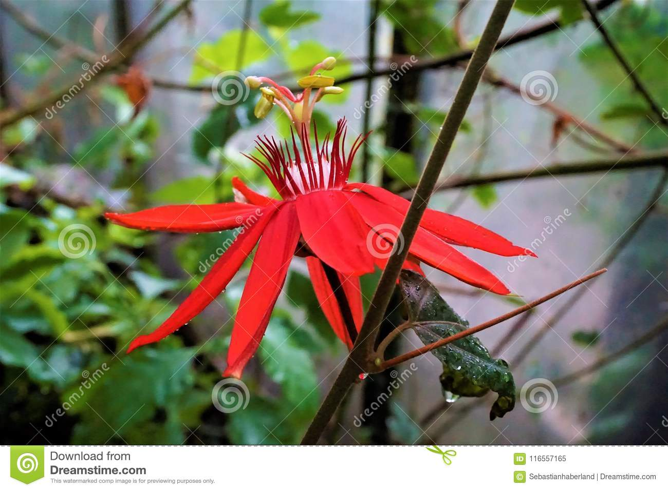 Red Passionflower Blossom In The Royal Botanic Garden Edinburgh