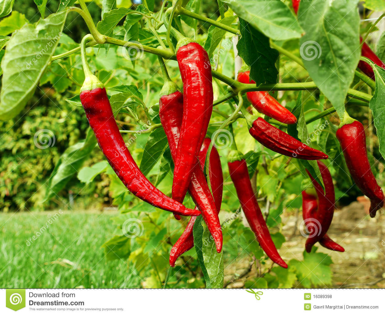 Red pepper growing in my garden stock photo image 16089398 - Planting pepper garden ...