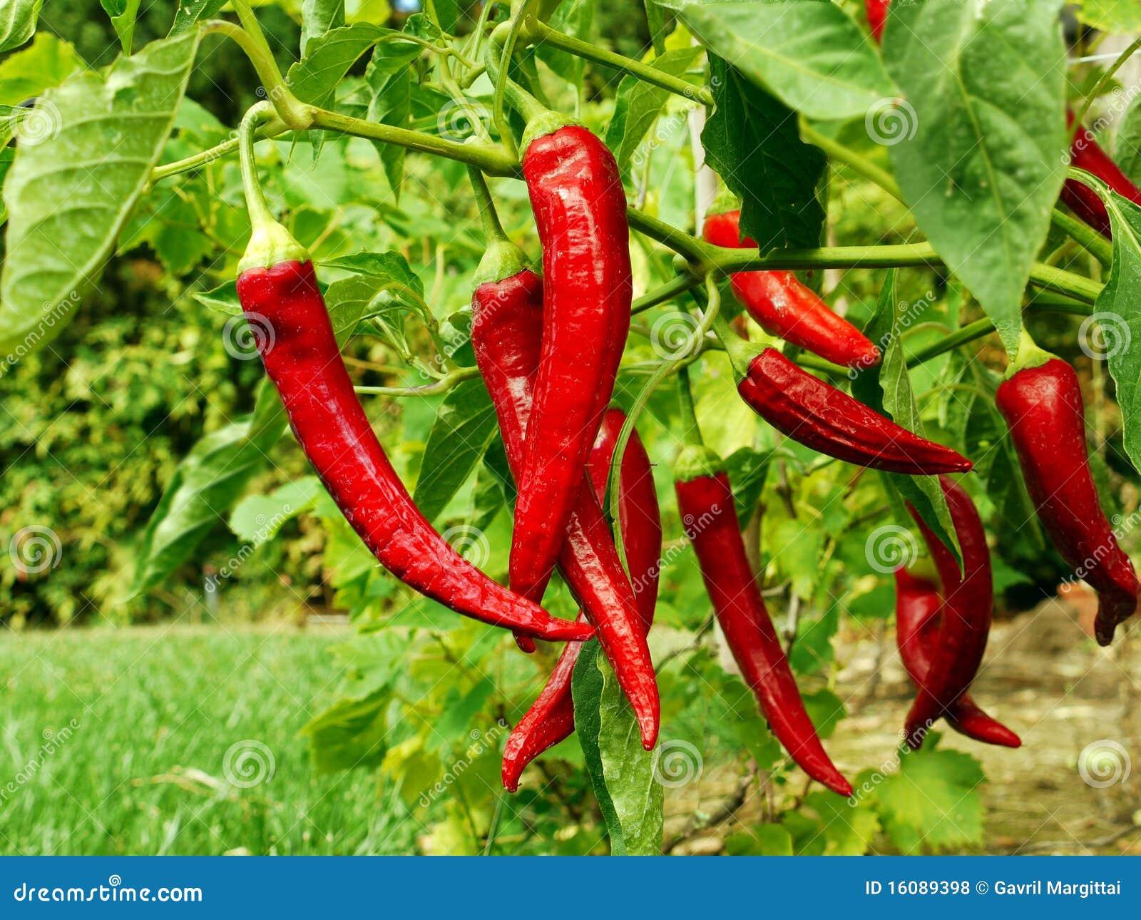 Red pepper growing in my garden stock photo image 16089398 - Planting pepper garden ...