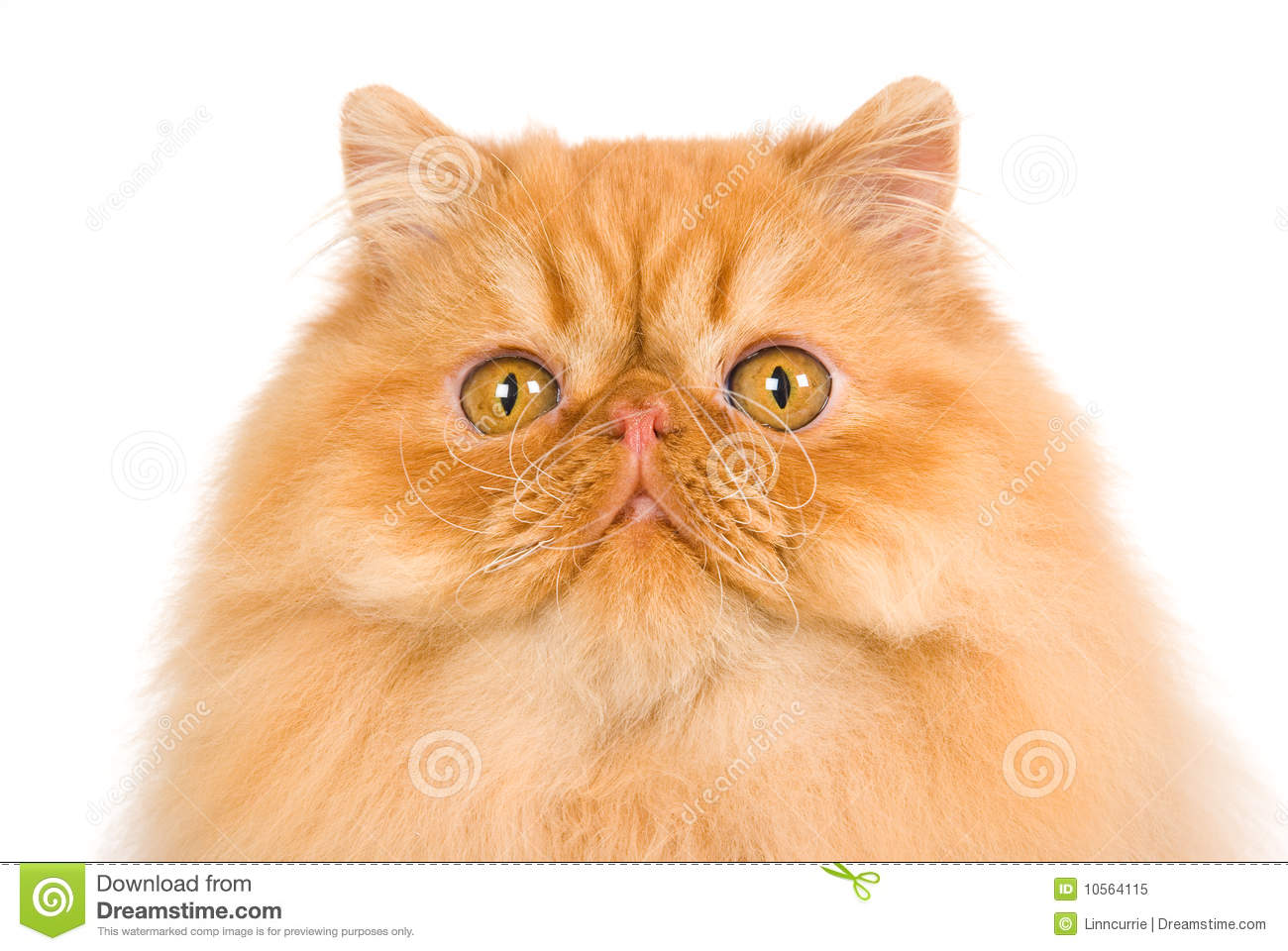 Persian Cat With White Background