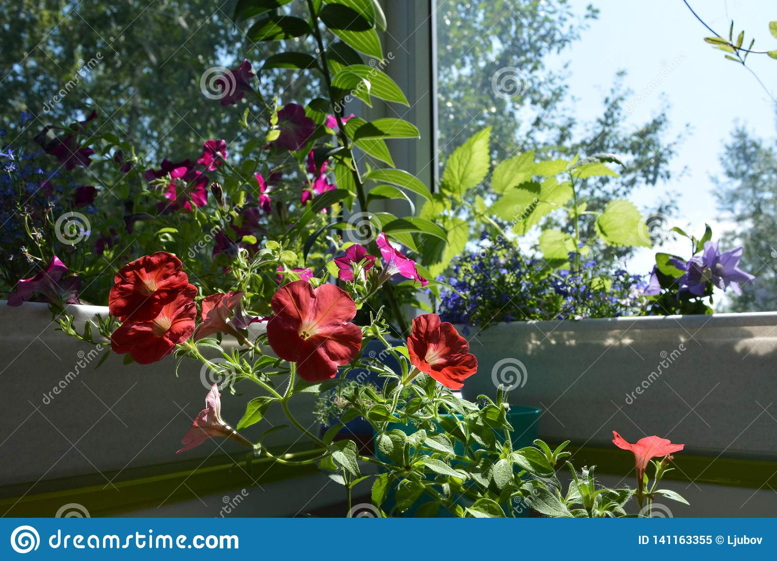 Red Petunia Flowers In Sunny Summer Day Small Garden On The Balcony With Blooming Plants In Containers And Pots Stock Image Image Of Flowers Hybrida 141163355