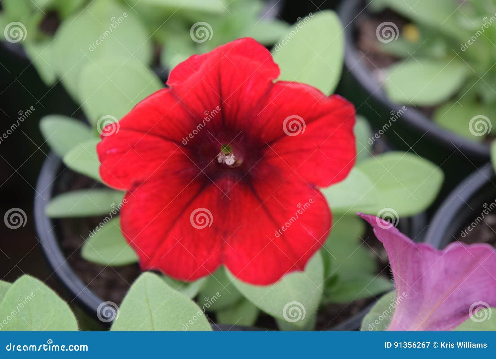 Red petunia