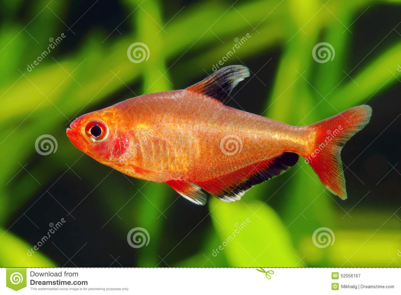 Red phantom tetra fish stock photo image 52056167 Freshwater fish with red fins