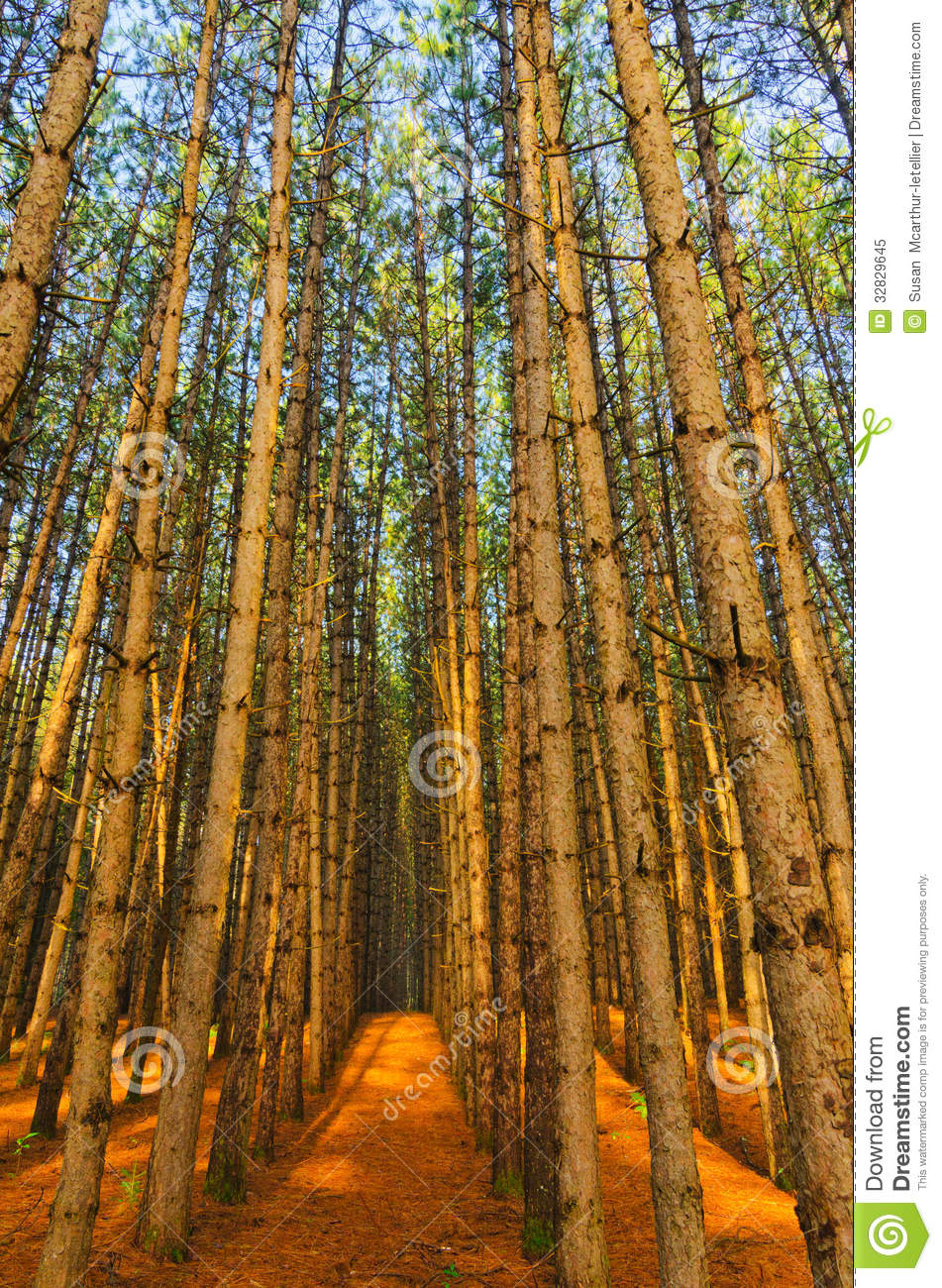 Red Pine Forest Grove Of Trees Stock Image Image Of