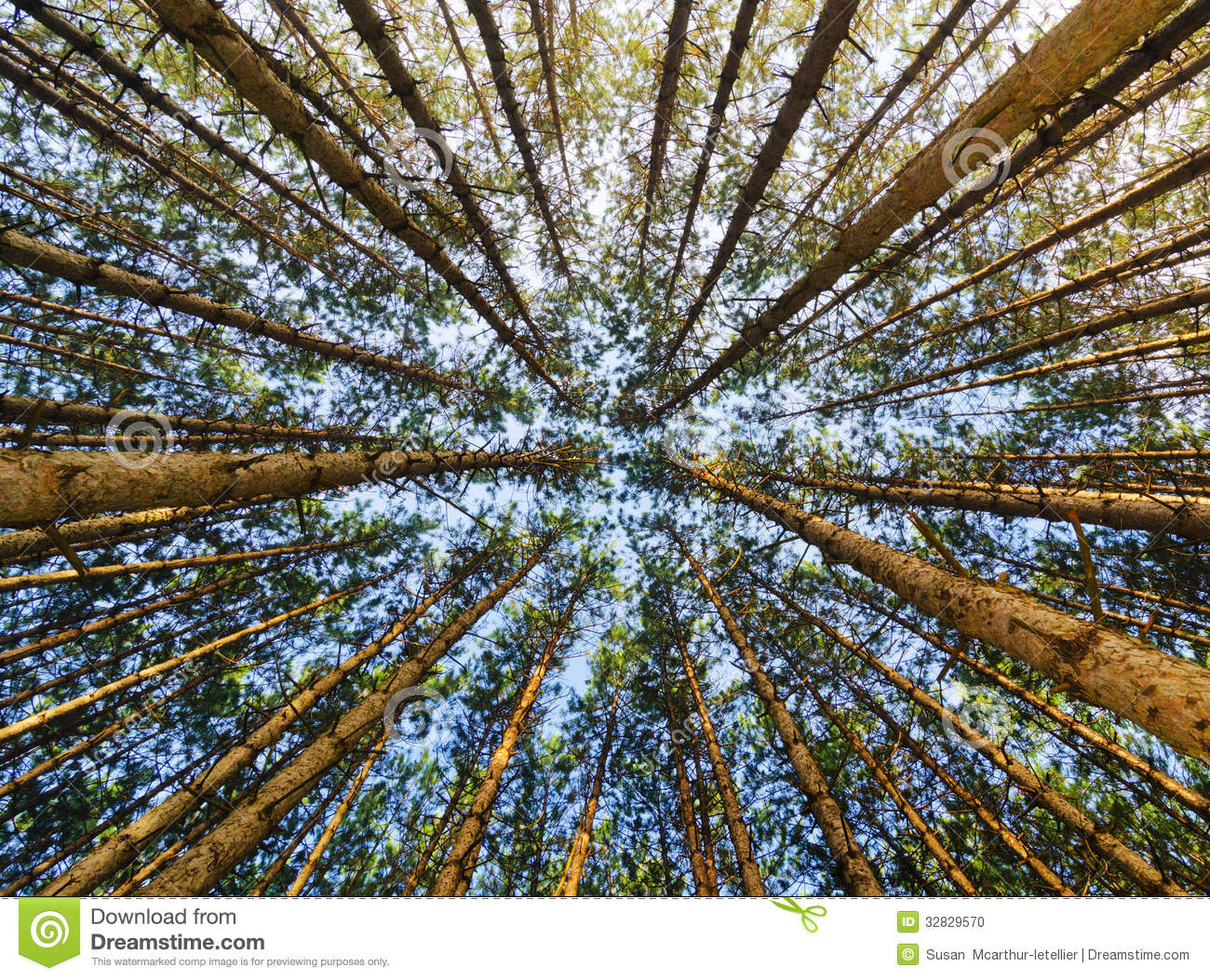 Red Pine Forest Looking Up Stock Photo Image Of Bush