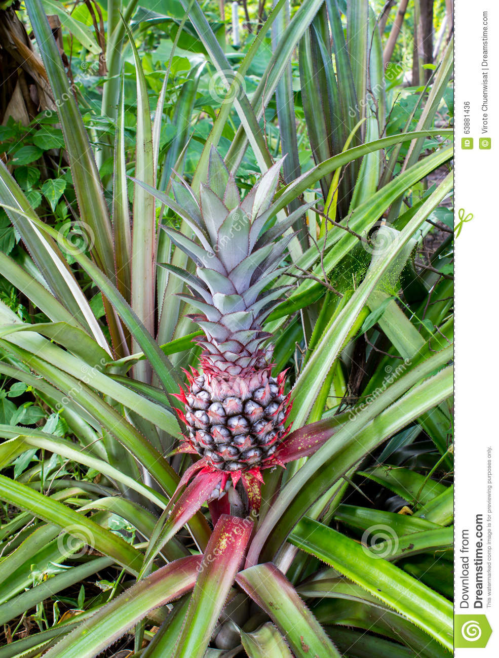 Red pineapple plantation stock photo image 63881436 for Cuisine 3d dole
