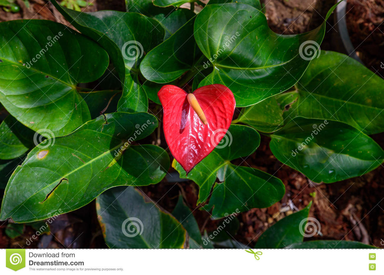 Red and pink anthurium flower also known as tail flower stock photo red and pink anthurium flower also known as tail flower flamingo flower and laceleaf in dark tone izmirmasajfo