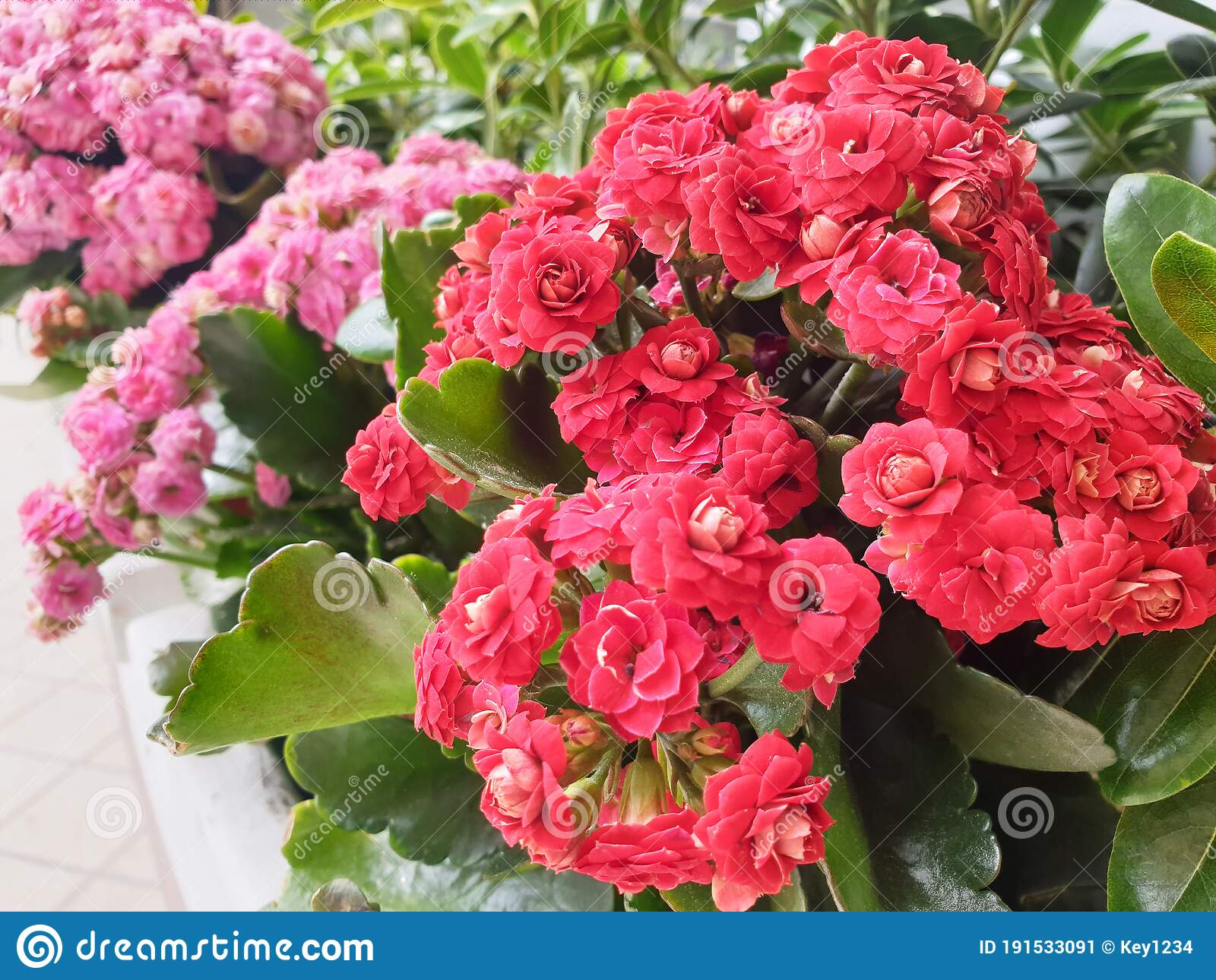 Red And Pink Begonia Flowers Stock Image - Image of leaf, flora: 191533091
