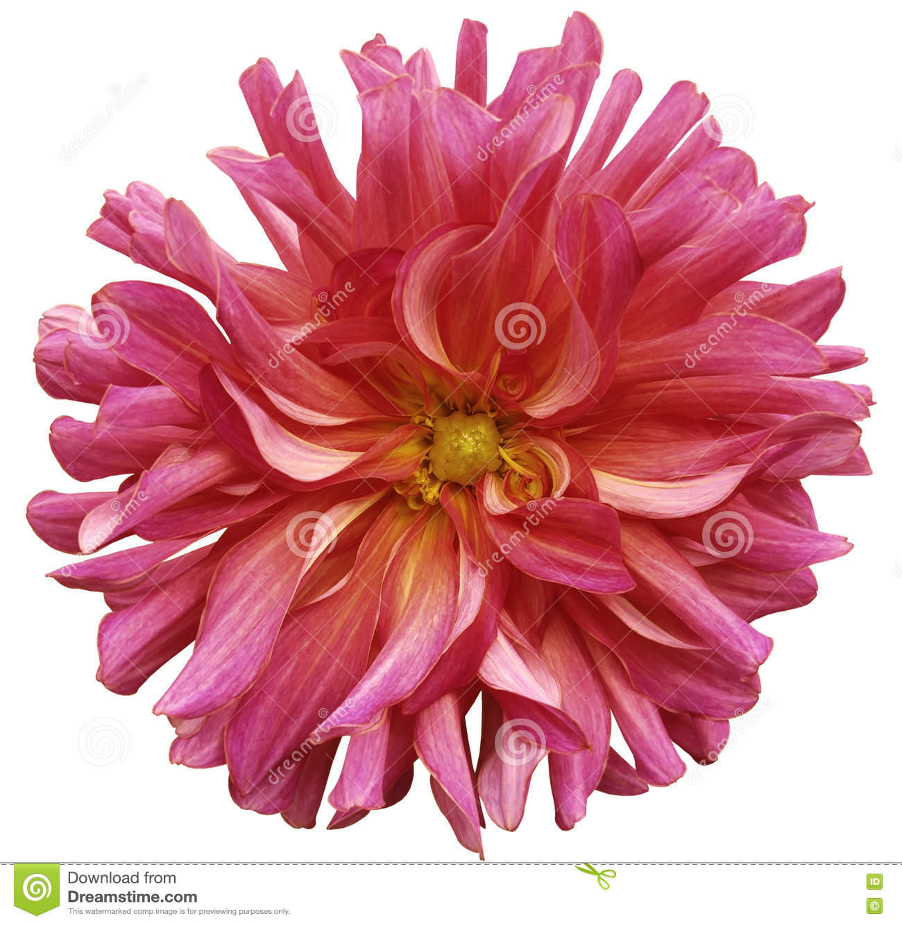 Red Pink Big Flower Yellow Center On A White Background Isolated