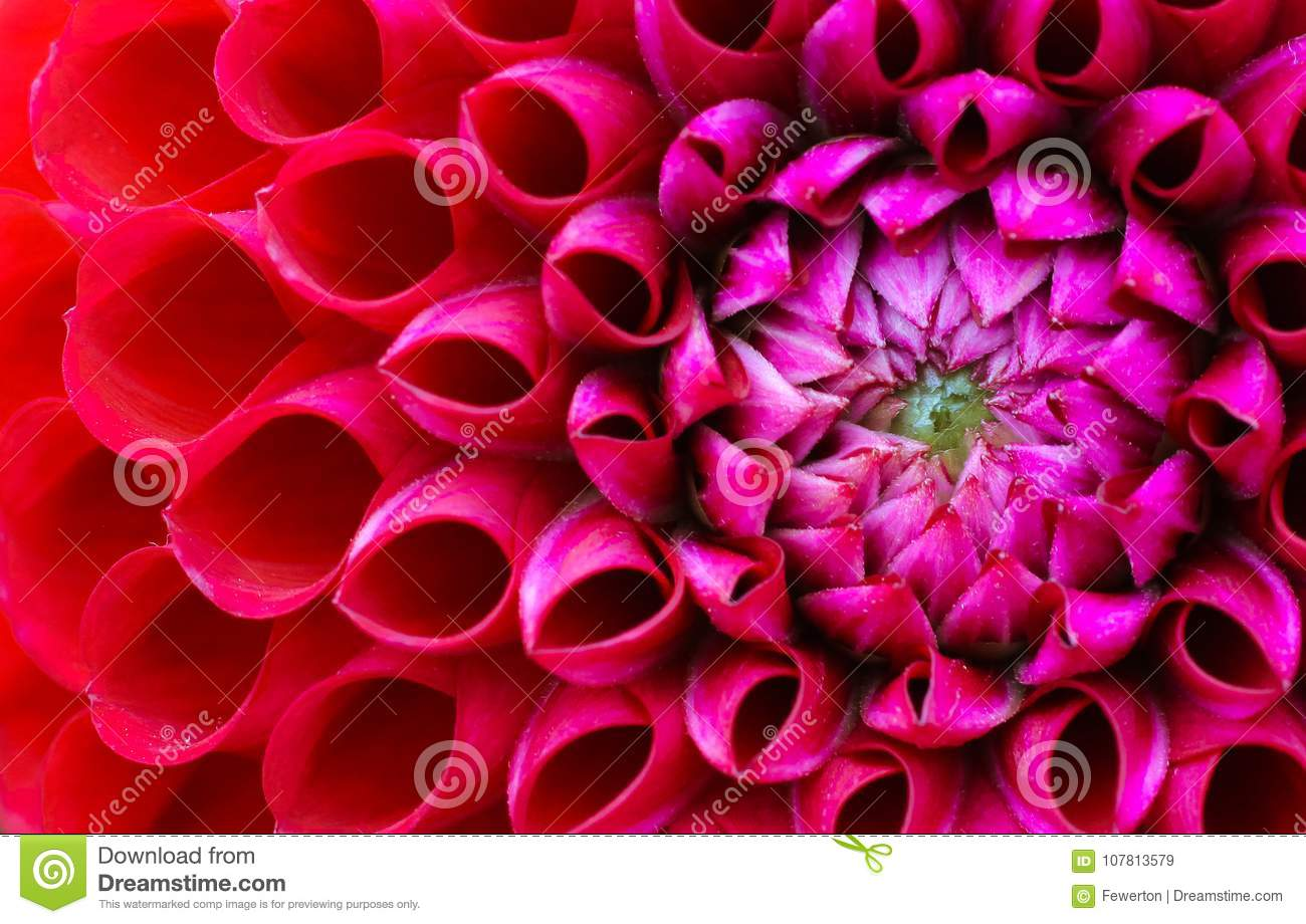 Red And Pink Dahlia Flower Macro Photo Picture In Colour