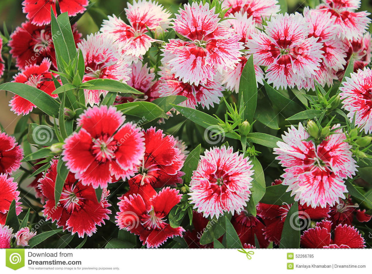 Red and Pink Dianthus