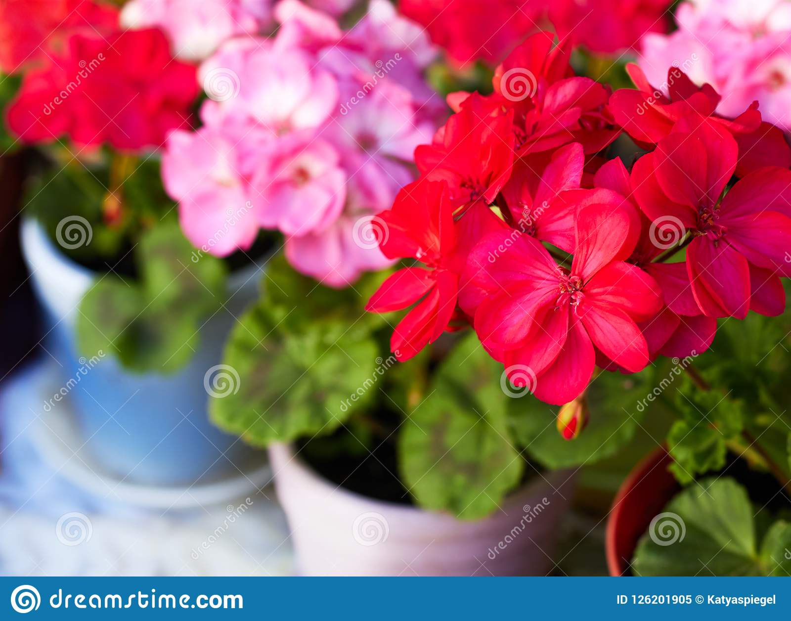 Red and pink geranium garden flowers in clay flowerpots, macro