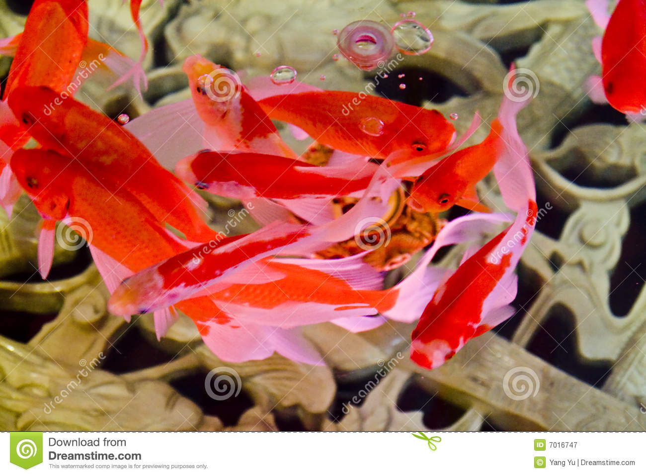 Red and pink koi carp royalty free stock photography for Red koi carp