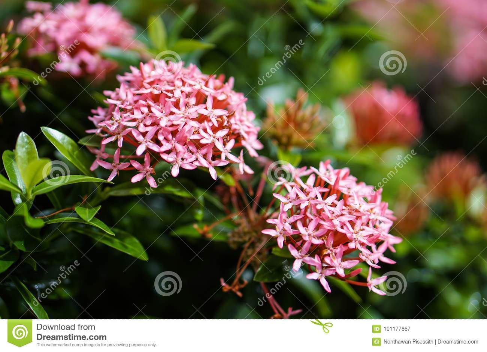 Red Pink Orange Ixora Spike Flower Green Leaf Rain Drop Stock Image