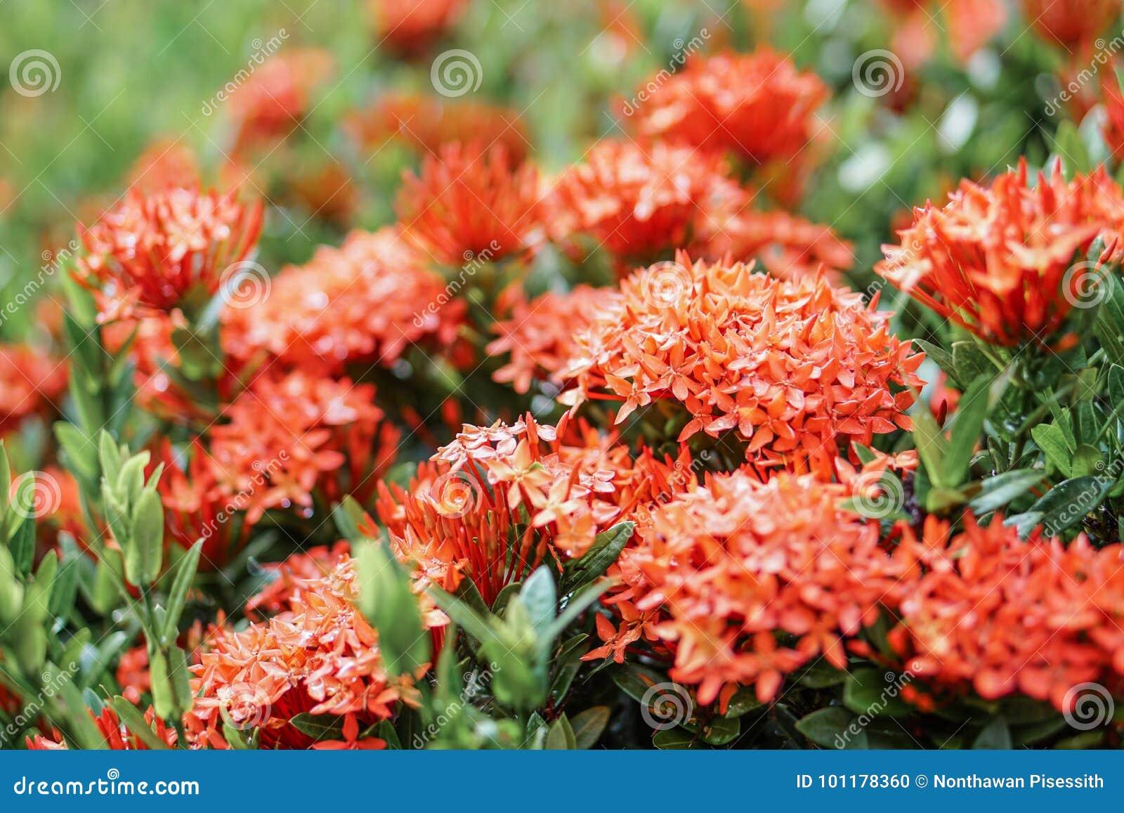 Red Pink Orange Ixora Spike Flower Green Leaf Rain Drop Stock Photo