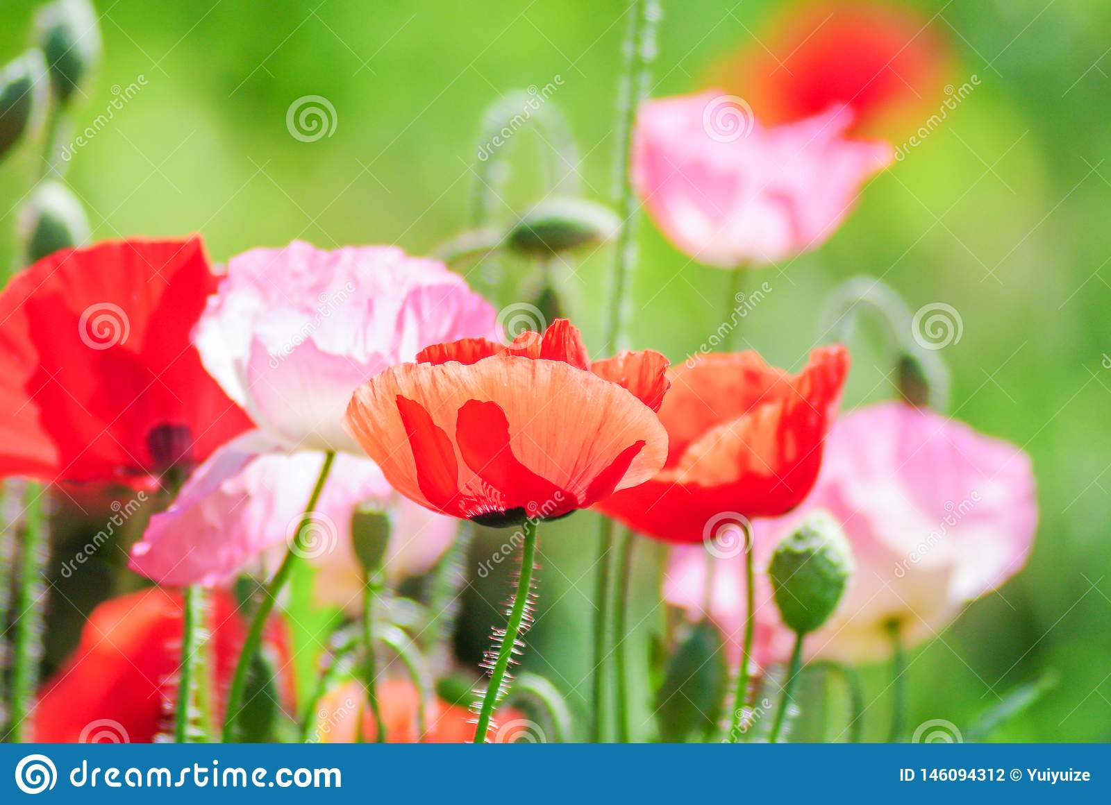 Red and pink poppy flowers in a field, red papaver