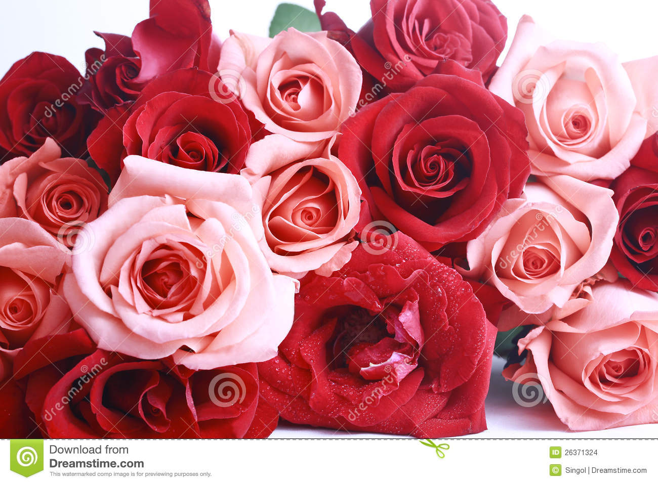 red and pink rose stock images image 26371324