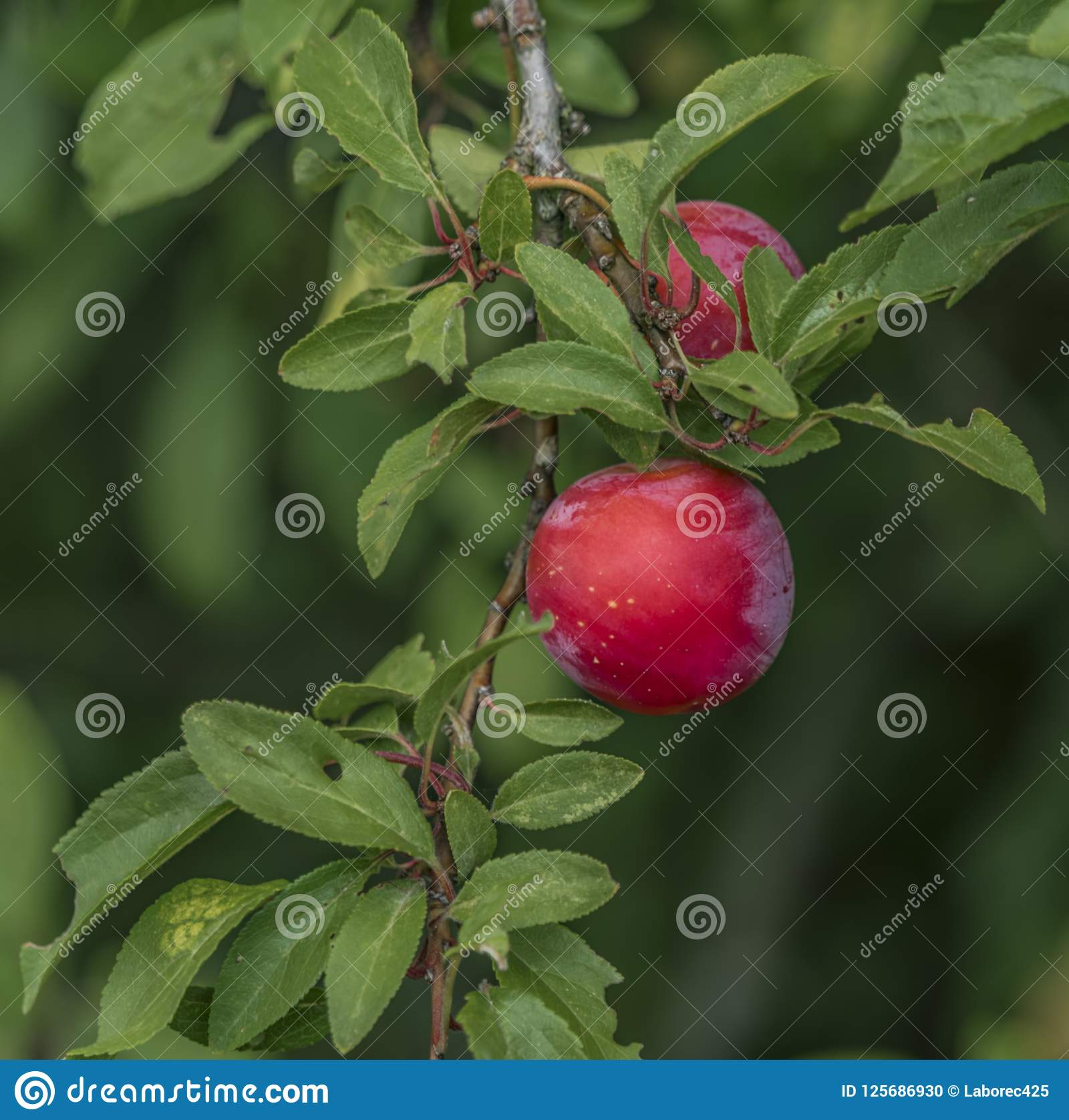Chinese (apple plum) is a paradise tree