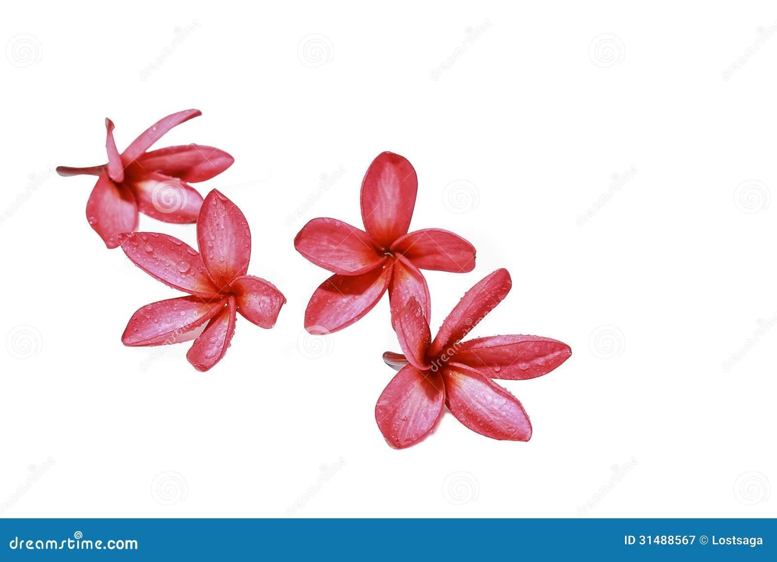 Pink Plumeria Flower Clip Art Red plumeria flower