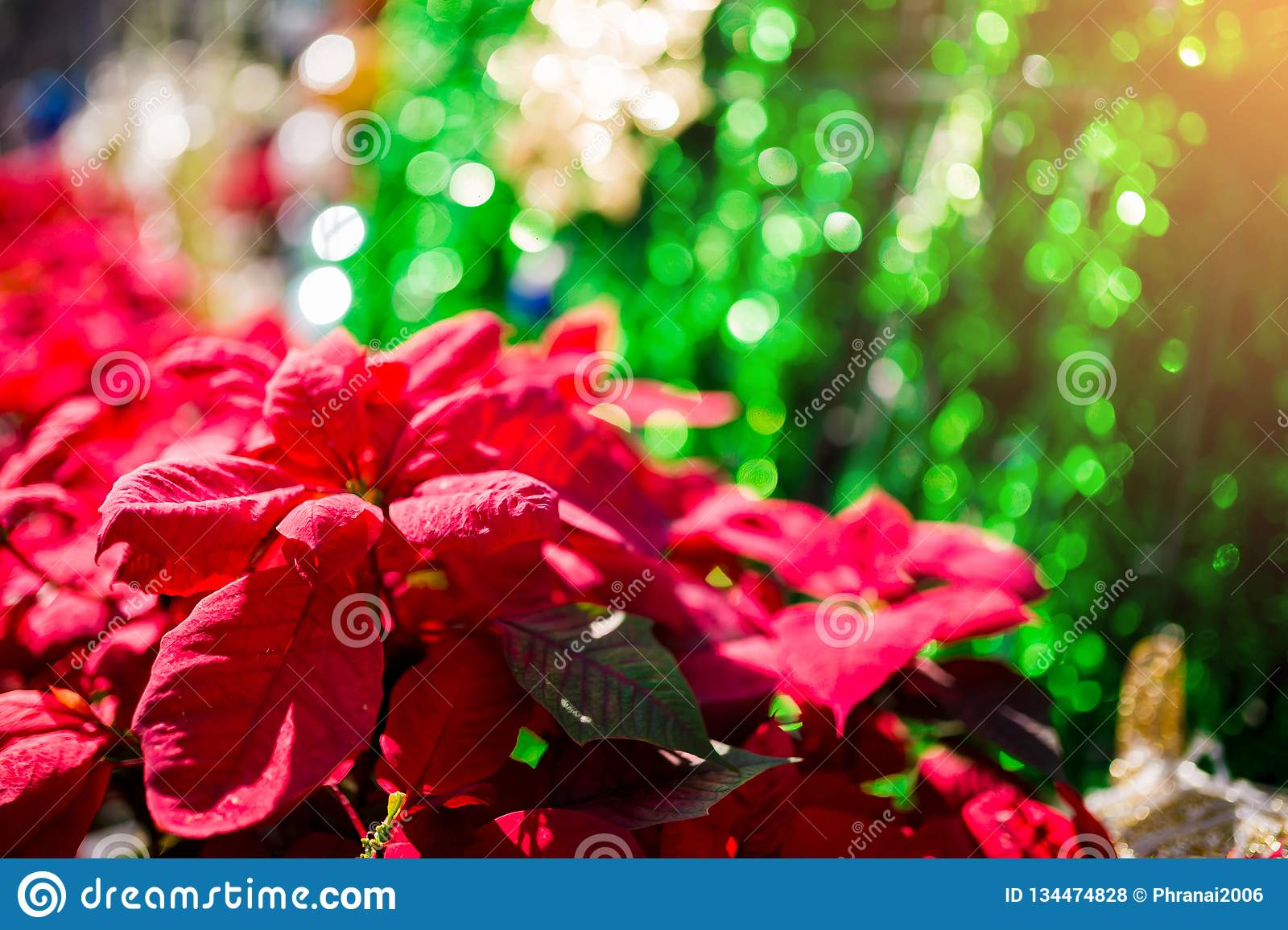 Red poinesettia tree for christmas holiday background with selective focus. New Year holidays background royalty free stock photos