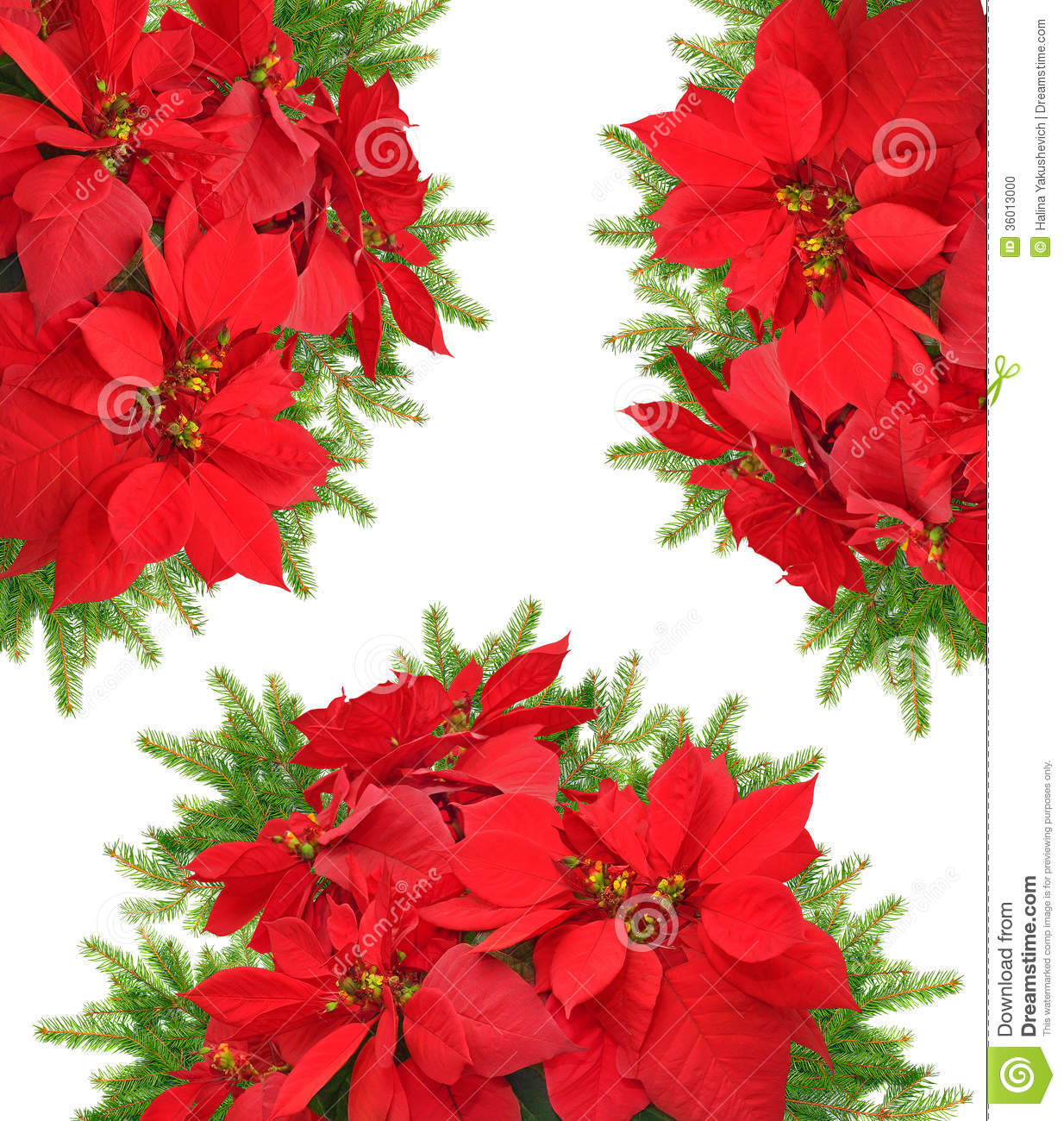 Red Poinsettia Flower With Beautiful Christmas Tree Branch