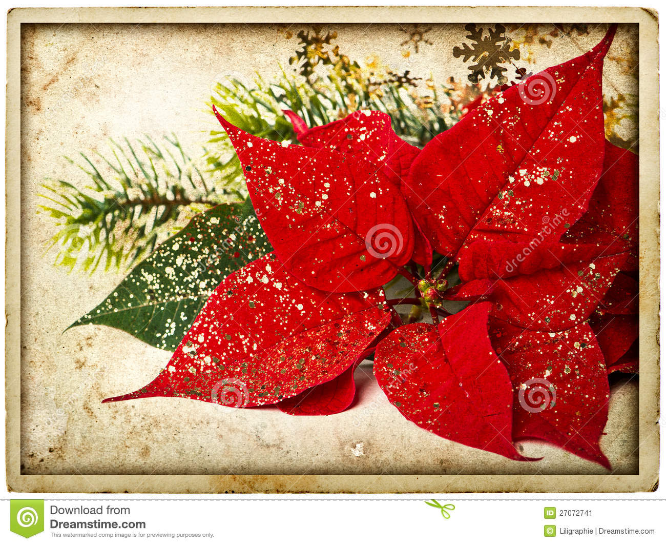 Red poinsettia flower with christmas tree branch stock for Poinsettia christmas tree frame