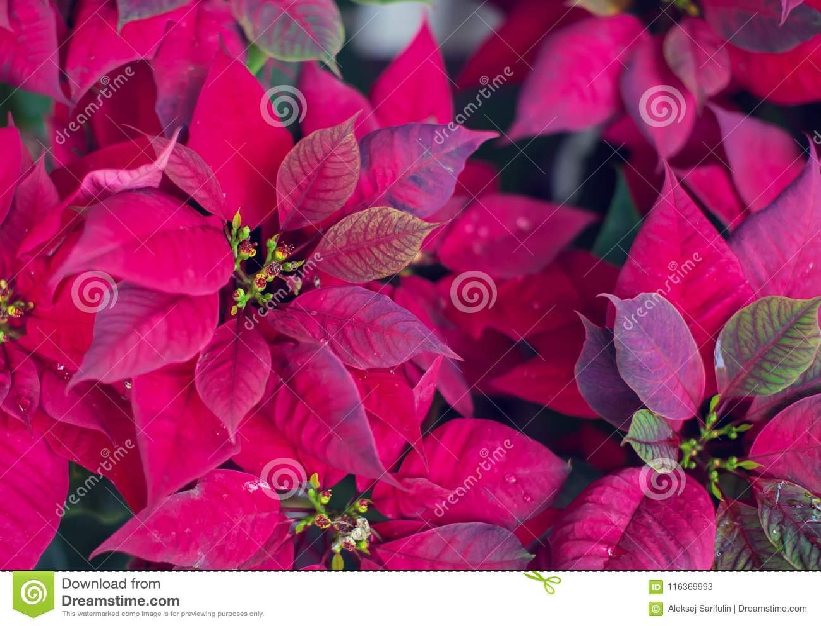 Red Poinsettia Flower, Euphorbia Pulcherrima, Nochebuena garden