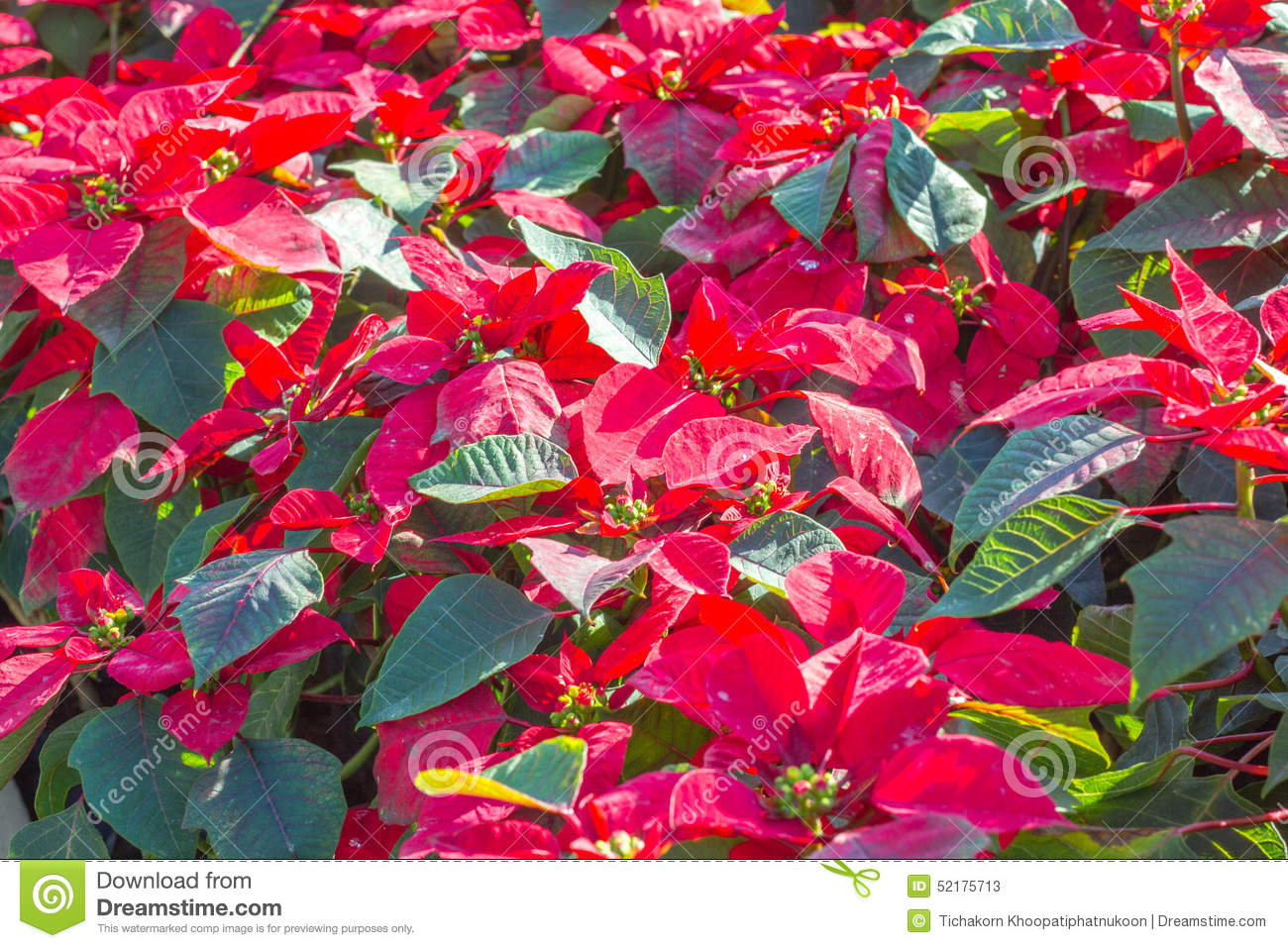 or red poinsettia - photo #26