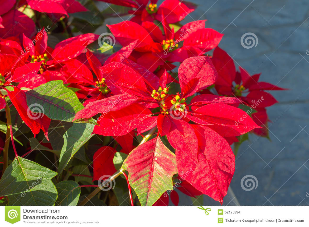 or red poinsettia - photo #40