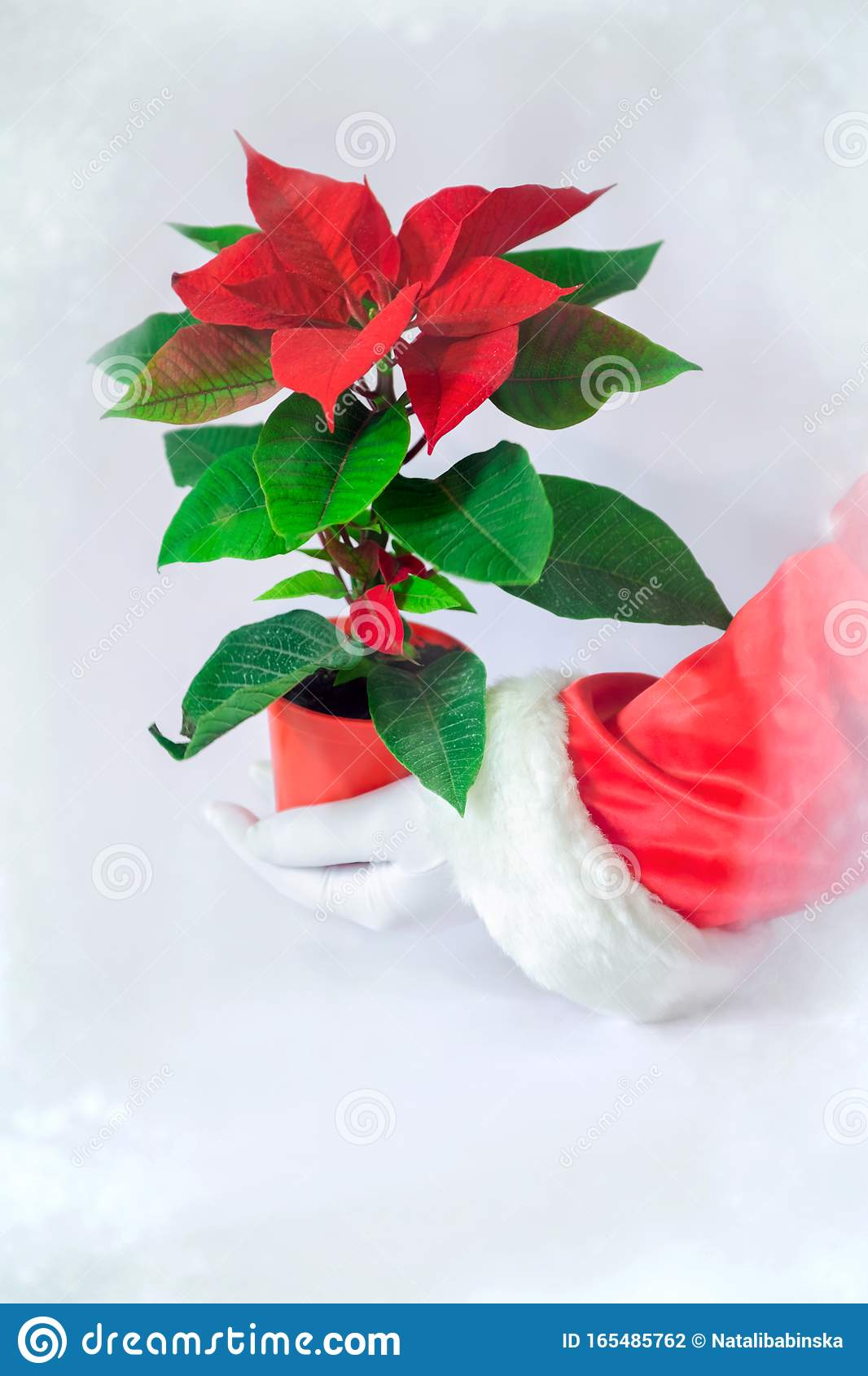 Red Poinsettia White Snow Background Hand Santa Claus Glove Green Leaves Hold Window Stock Photo Image Of Fairy Fabulous 165485762