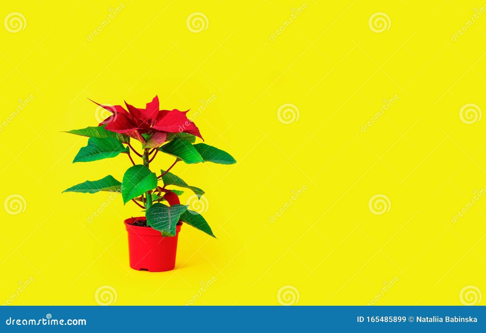 Red Poinsettia Yellow Background Green Leaves Vase Pot Bush Plant Stock Image Image Of Buying Fantasy 165485899