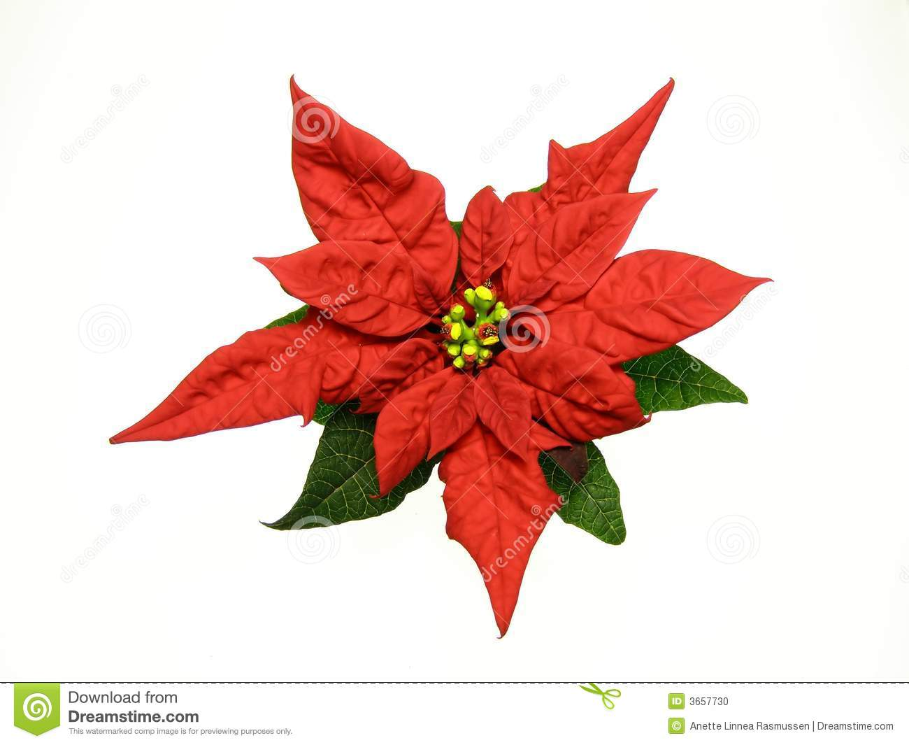 red poinsettias christmas flower stock photo - Christmas Poinsettia