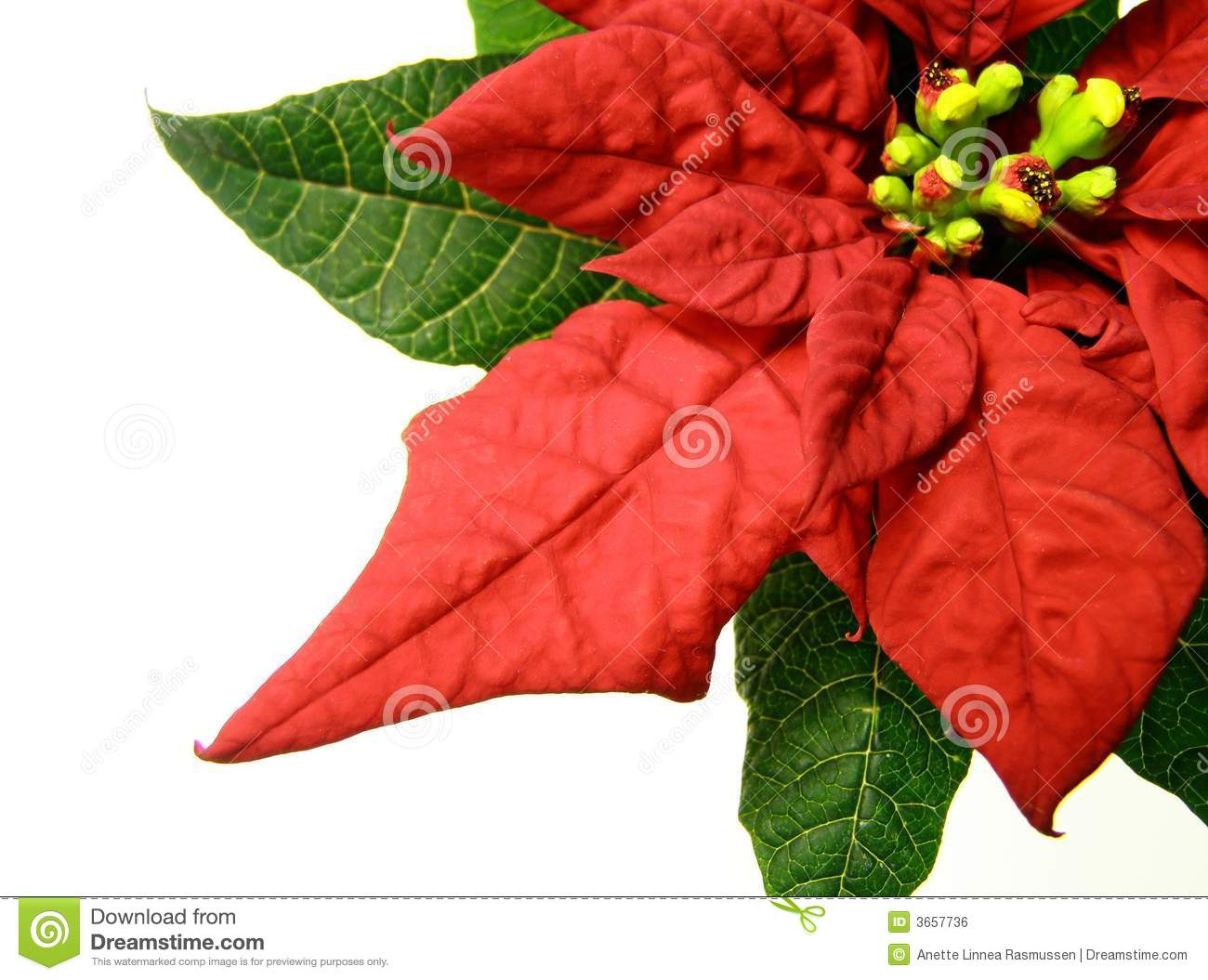Red Poinsettias Christmas Flower Royalty Free Stock Image - Image ...