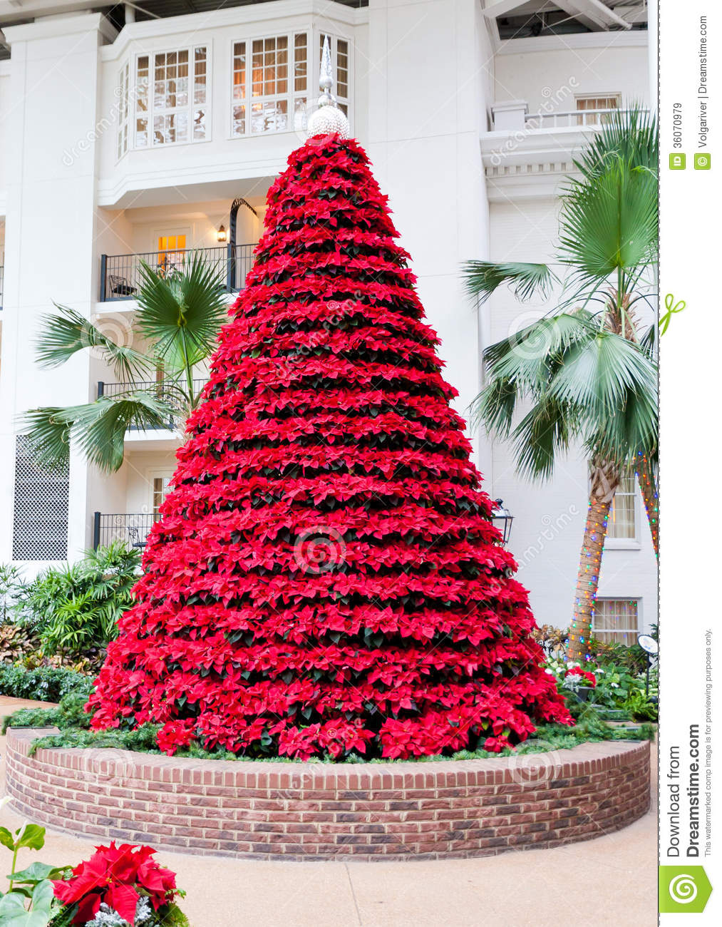 Red Poinsettias Flowers In Christmas Tree Shape. Royalty Free ...