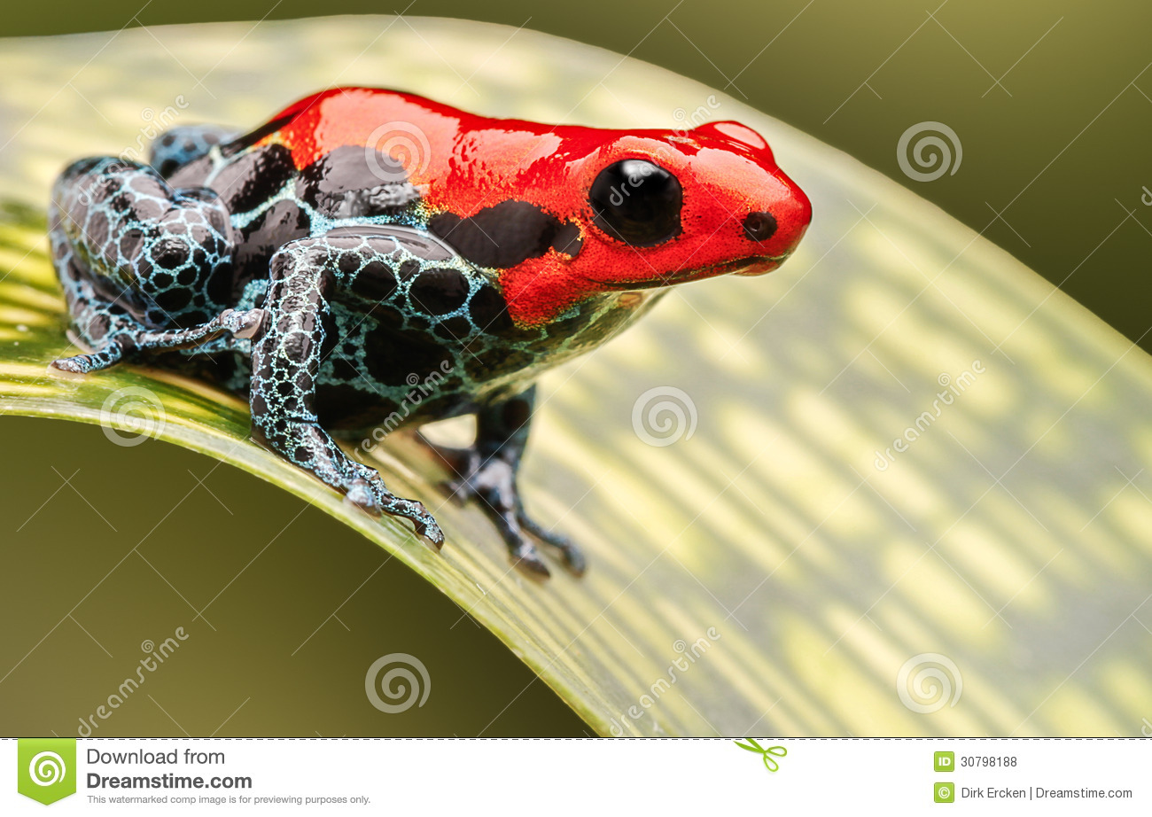 Red Poison Arrow Frog Stock Photo Image Of Poisonous 30798188