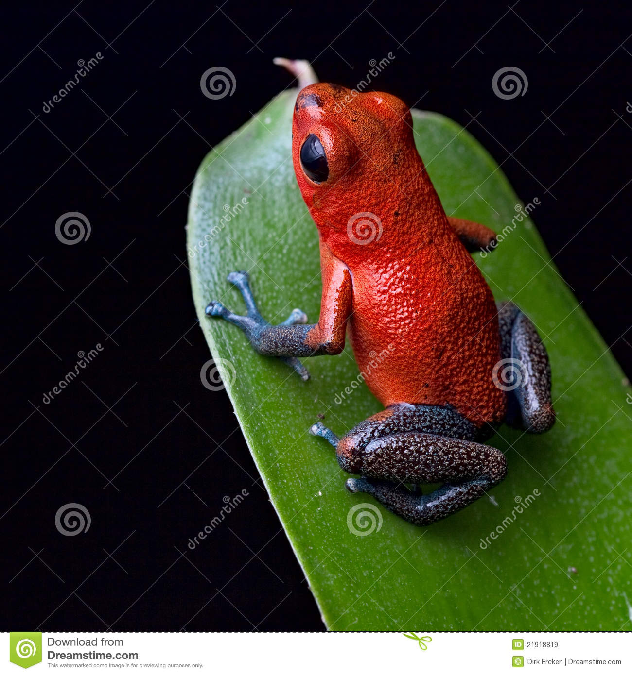 red poison dart frog costa rica jungle royalty free stock amazon rainforest animals clipart tropical rainforest animals clipart