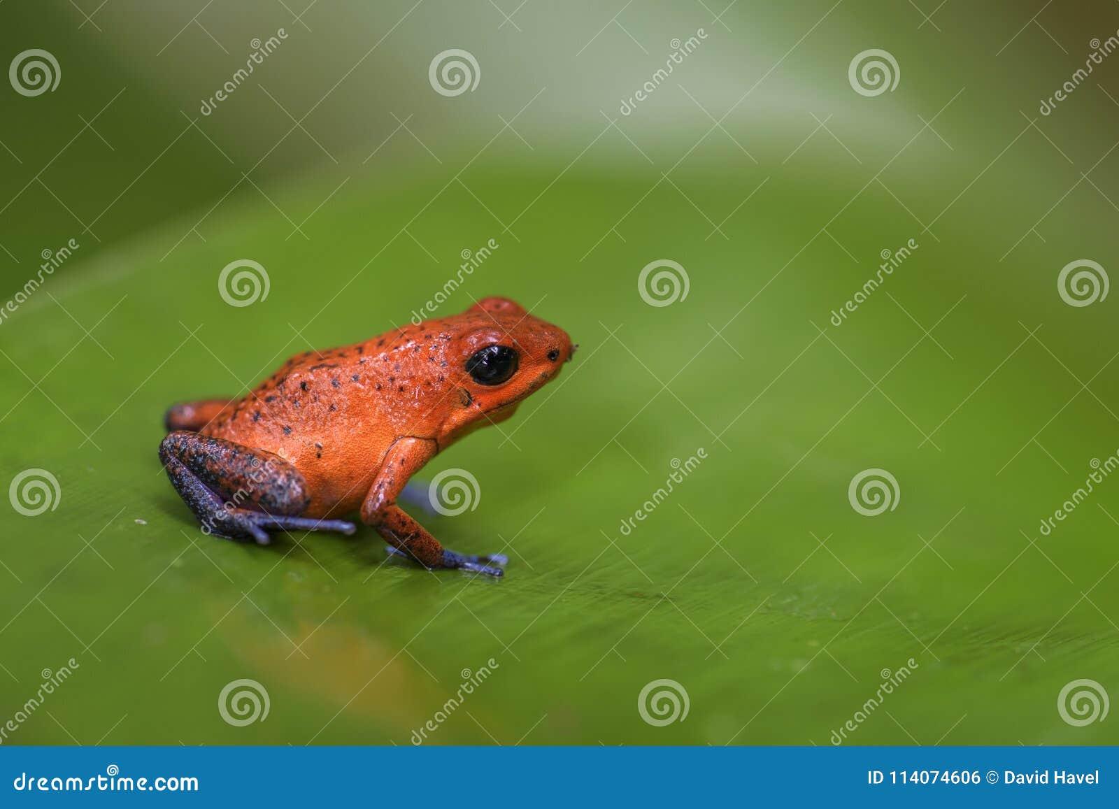 Red Poison Dart Frog - Oophaga pumilio