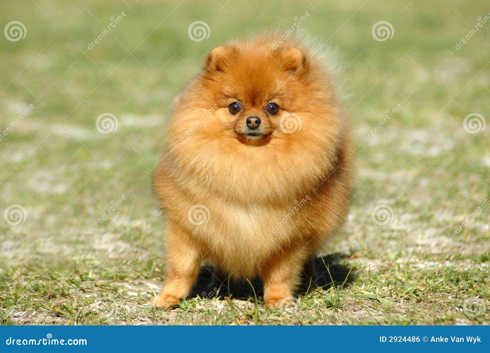 Red Pomeranian dog stock photo. Image of pomeranian ...