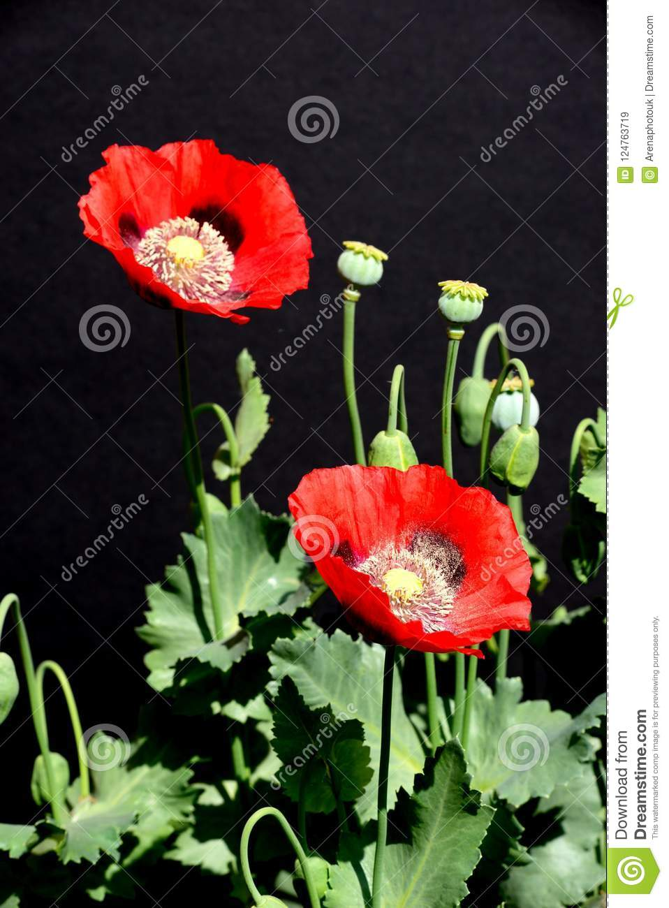 Red Poppies Against A Black Background Stock Image Image Of