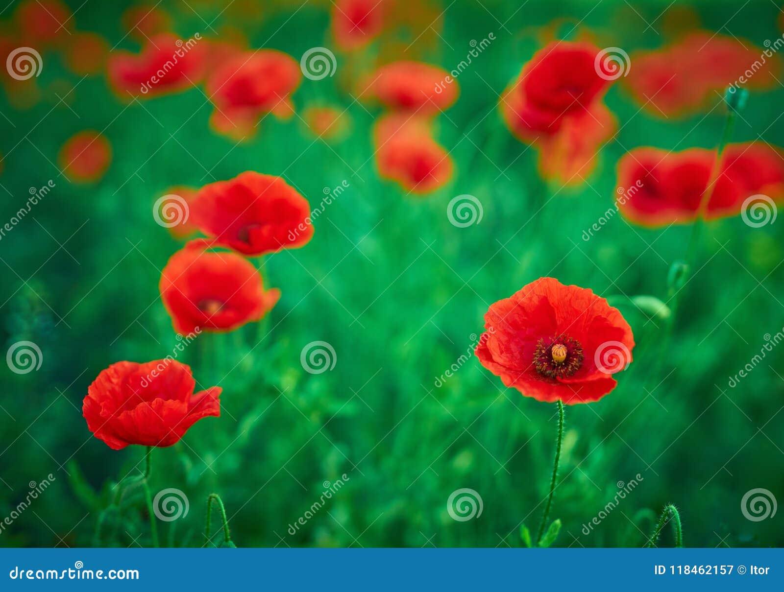 Selective Focus On Poppy Flower Wild Poppy Flowers In Natural G