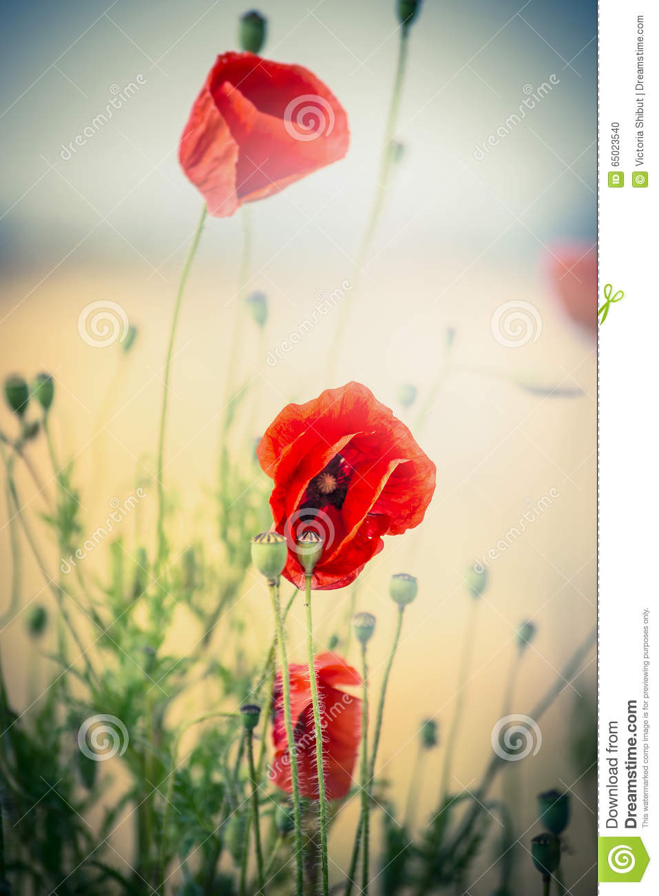 Red Poppies Flowers On Blurred Nature Background Stock Photo Image