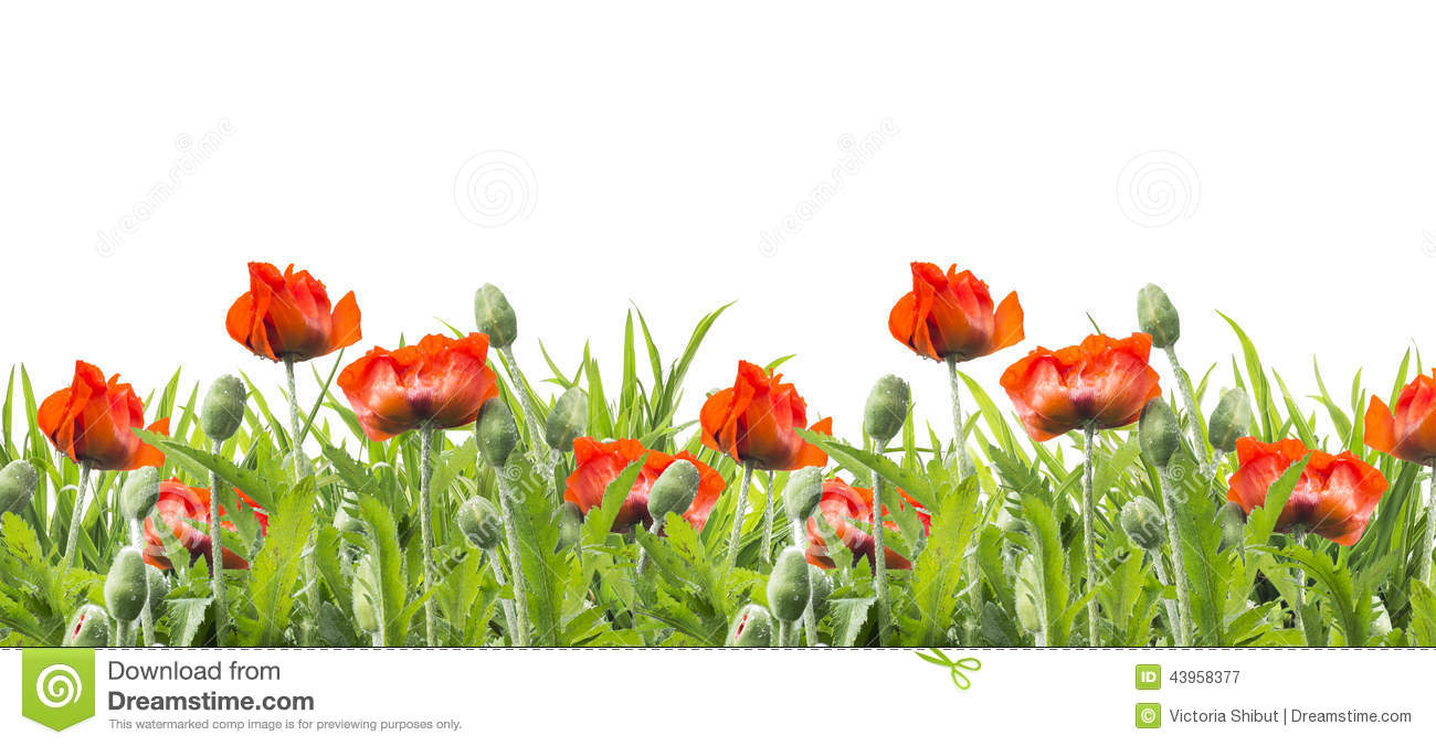 Red Poppies Flowers Floral Border Isolated On White Stock Image