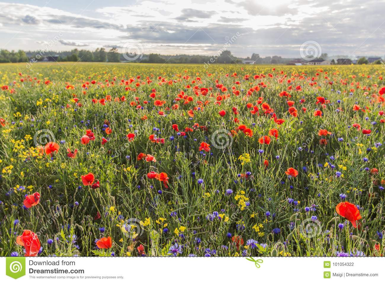 Download Red Poppies On The Green Field Stock Photo - Image of cyanus, summertime: 101054322