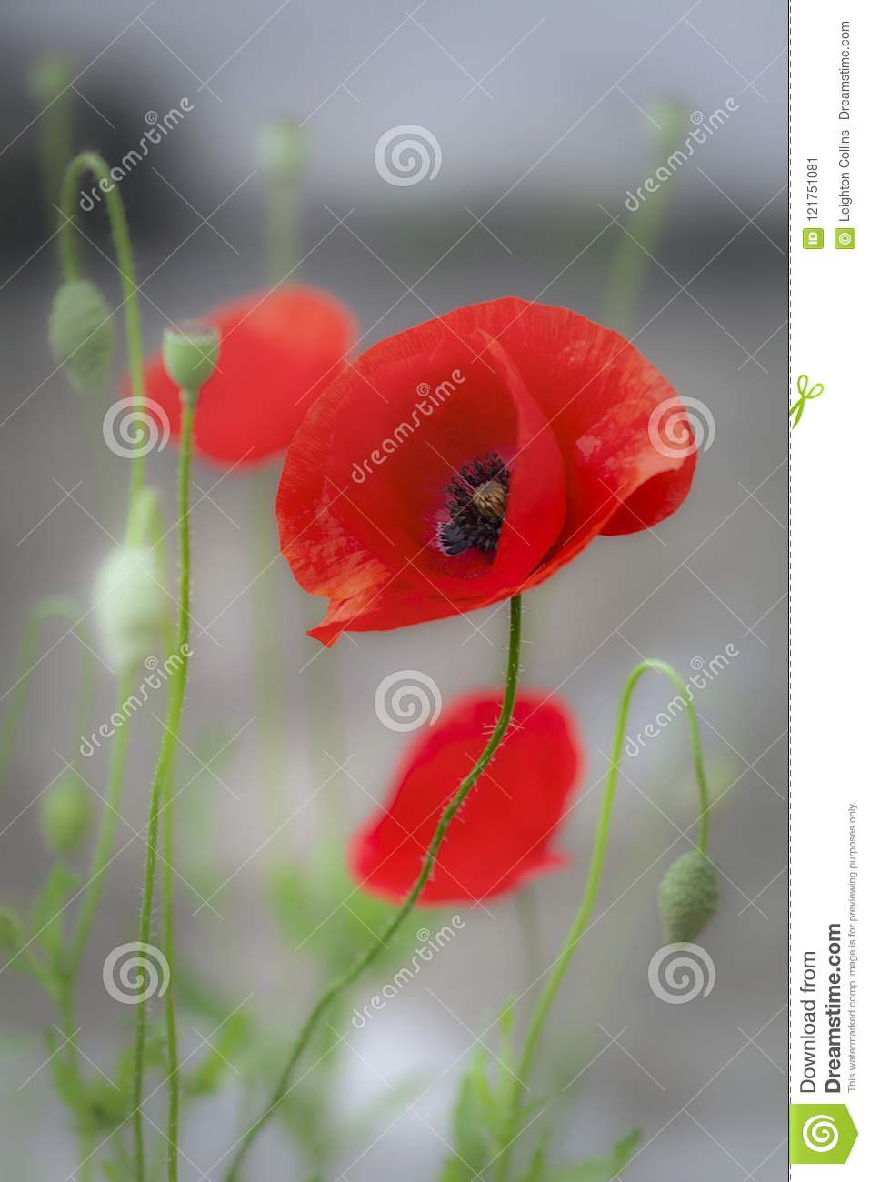 Red Poppies In The Mist Stock Image Image Of Flowers 121751081