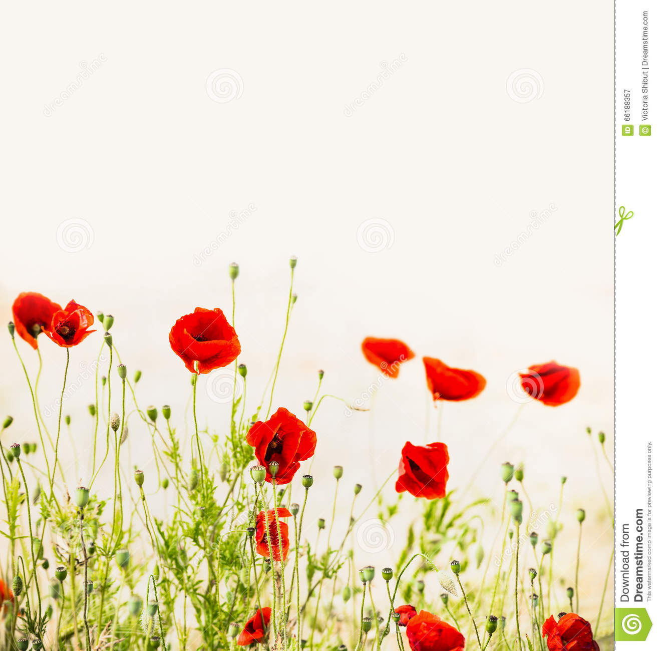 Red Poppies Outdoor Floral Nature Background Stock Image Image Of