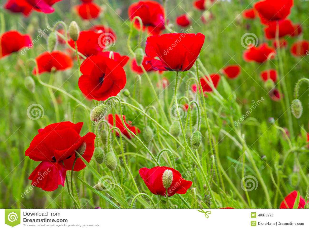 Red Poppies With Water Drops Stock Image Image Of Many Flowers