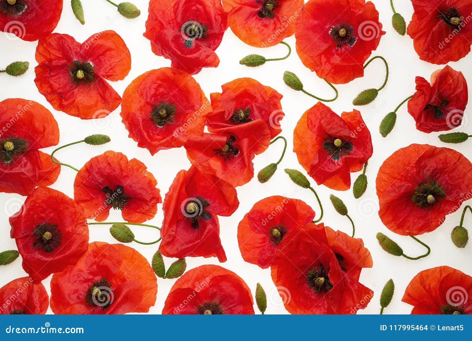 Red Poppies On White Background Wallpaper Background Stock Photo Image Of Flourishing Beautiful 117995464